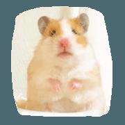 Japanese 4 fluffy hamsters