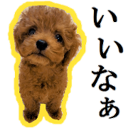 Toy Poodle Lion 4