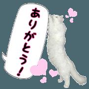 Fluffy white cat MOCHI2