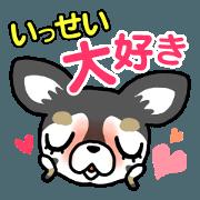 Chihuahua who loves Issei