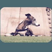 Italian Grayhound Seal's emotion