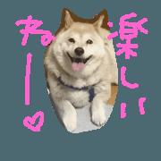 Shiba-inu Rin