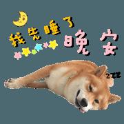 柴柴狗狗-開心Day