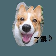 hikomaru_corgi