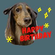 dachshund chiffon
