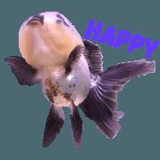 卡哇魚 (金魚)