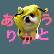 cookie stamp Pomeranian