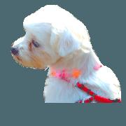 Maltese dog momo