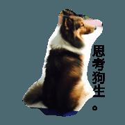 Shetland Sheepdog is pig