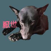 Taiwan blackDog