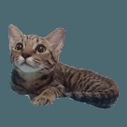 虎斑貓米霏