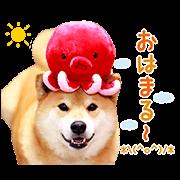 柴犬MARU